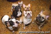 Cruiser is surrounded by other French bulldogs.